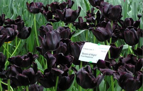 Hoa Tulip den