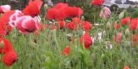 hoa da lat