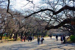 Mùa hoa anh đào ở Nhật Bản