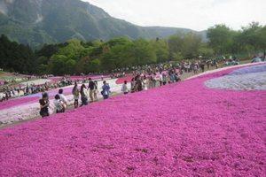 Rực rỡ sắc màu hoa Chi Anh – Nhật Bản