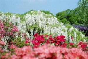 """Ngẩn ngơ ngắm """"thác"""" hoa Fuji ở Nhật Bản"""