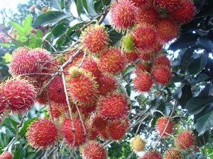 Vườn cây ăn quả tại Phú Quốc hấp dẫn du khách