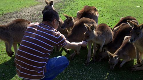 cho kangaroo an