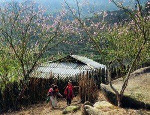 Hoa đào Sa Pa khoe sắc sớm