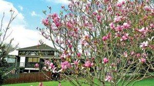 Hoa xuân Auckland