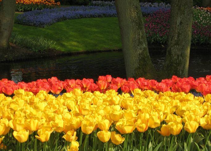 hoa tulip tai keukenof ha lan