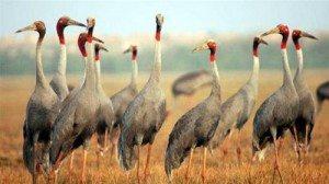 Tràm chim mùa sếu về