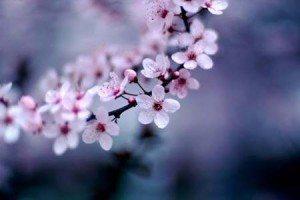 canh hoa dao dep lung linh