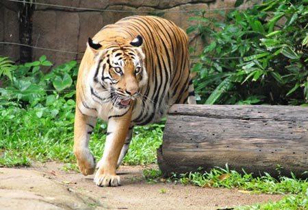 Hổ trong vườn thú Zoo Negara.