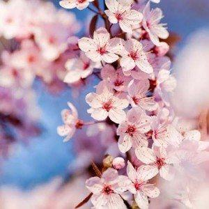 hoa dao nhat ban tuyet dep