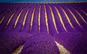 Đẹp tuyệt vời cánh đồng hoa oải hương vùng Provence
