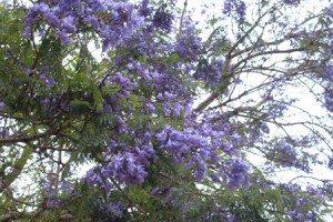 Rực rỡ hoa phượng tím Đà Lạt