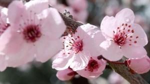 Trung Quốc: Tràn ngập sắc hồng trong lễ hội hoa đào