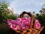 Hoa hong thom tren xu Bulgaria
