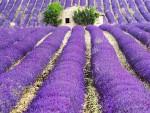 Canh dong hoa oai huong Provence