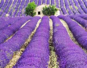 """""""Lạc bước"""" trong những cánh đồng oải hương đẹp mê hồn"""