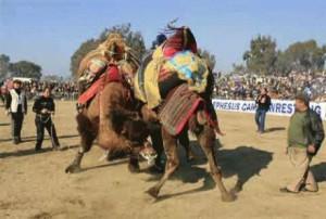 Độc đáo cuội thi chọi… lạc đà ở Thổ Nhĩ Kỳ