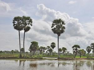 Ba mùa thốt nốt ở An Giang